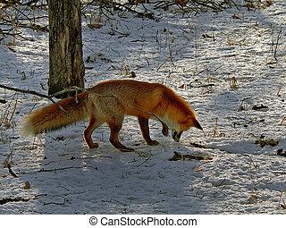 Red Fox 28