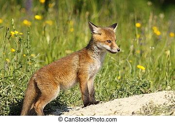 red fox baby near the den