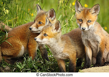 red fox brothers near the den