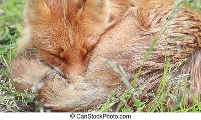 Red fox, close up Summer.