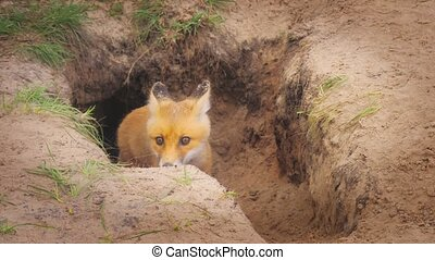 Red orange fox wild life animal nature field meat food eating hunter burrow den family winter spring