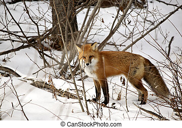Red Fox in a forest in Alberta Canada - Red Fox (Vulpes...