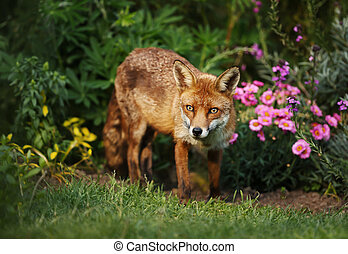Red fox in the garden with flowers