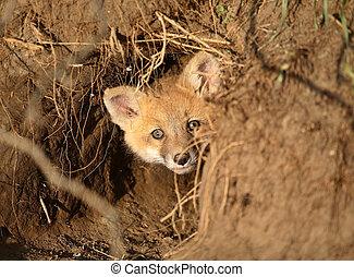 Red Fox kit at den entrance in Saskatchewan