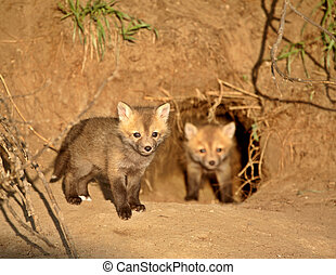 Red Fox kits at den entrance in Saskatchewan