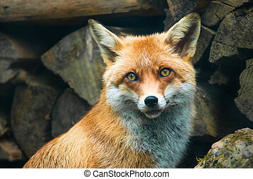 red fox (lat. vulpes vulpes) in front of a pile of wood in...