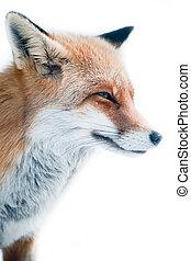 red fox (lat. vulpes vulpes) in winter.
