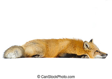 Red fox laying straight isolated on white