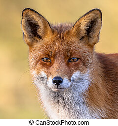 A full resolution portrait of the head of a red fox male (Vulpes vulpes) in natural environment with yellow background. The beautiful wild animal of the wilderness. Shred looking in the camera. Eye to eye with a dodgy vulpine.