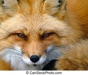 Red Fox Portrait - Close-up portrait of a beautiful wild Red...