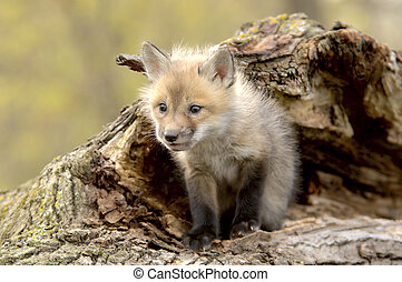 Red Fox Pup (Vulpes vulpes) lookiing camera left. - A Red...
