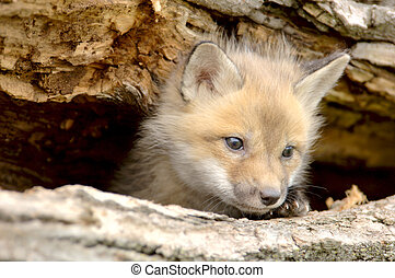 Red Fox Pup-Vulpes vulpes-looking camera left - A Red Fox...