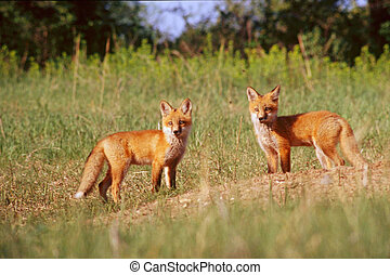 Red Fox Pups - Two curious red fox pups photographed at...