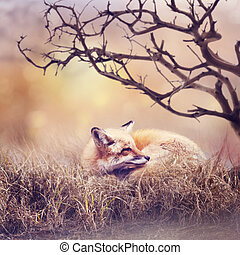 Red fox resting in the grass