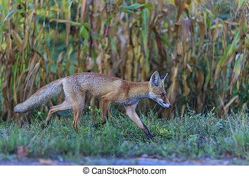 Red fox running through the garden