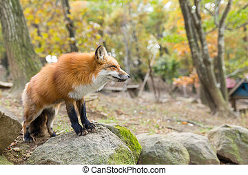 Red fox standing on rock