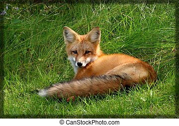 Red Fox - While on a walk, came across the red fox and her...