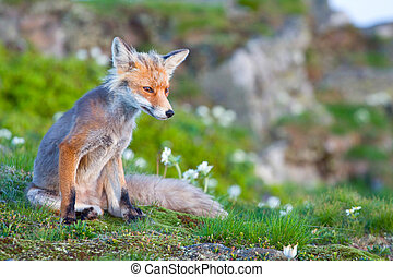 Red fox, sunrise, Babia Gora, Poland