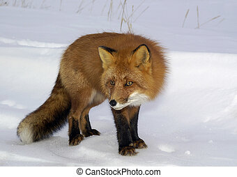 Red fox. - The red fox, in a habitat of dwelling. Russia. ...