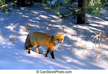 red fox - this image won two gold medals in national ...