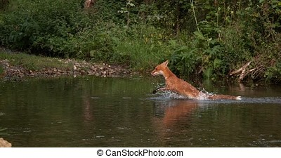 Red Fox, vulpes vulpes, Adult crossing River, Normandy in...