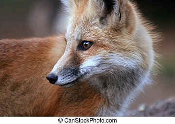 Red Fox (Vulpes vulpes) - Close-up portrait of red fox kit (...