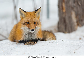 Red Fox - Vulpes vulpes, healthy specimen in his habitat in the woods.