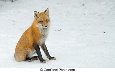 Red Fox - Vulpes vulpes, healthy specimen in his wooland habitat.