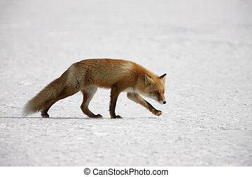 Red fox, Vulpes vulpes, Japan, winter
