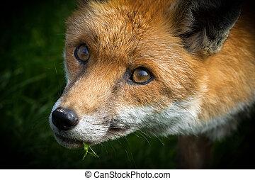 Red Fox (Vulpes vulpes) on grass close-up