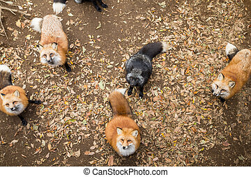 Red fox waiting for food