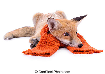 red fox with a scarf