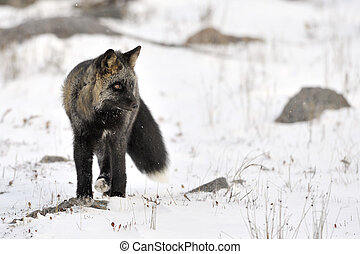 Red fox with black fur standing in snow.