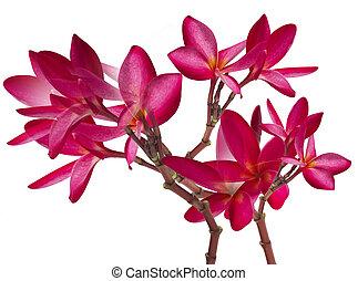 Red Frangipani flower isolated on white background