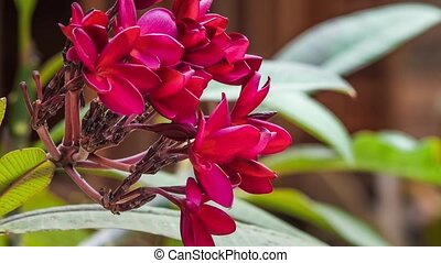Red frangipani or plumeria flower motion, with some aints on it, shallow depth of field