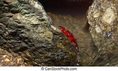Red, freshwater crab clings to a rock at the surface of a tropical, mountain stream in Phuket, Thailand, video 1080p with sound.