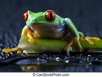 Red frog - Frog - small animal with smooth skin and long...