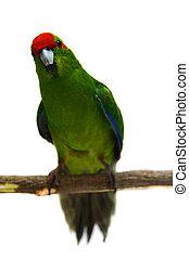 Red-fronted Kakariki parakeet on white - Red-fronted...