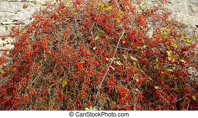 Red fruit bushes on stone wall.