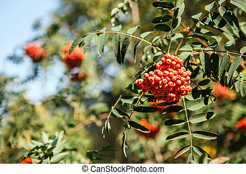 red fruit on the green branches of mountain ash