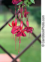 Red Fuchsia Flower, outdoor photo