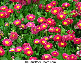 red full-blown garden daisies on a summer bed