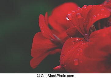 Red garden flower with dew drops on the leaves