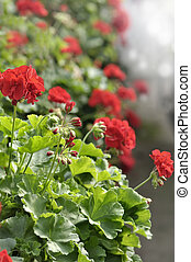 Red Garden Geranium Flowers , Close Up