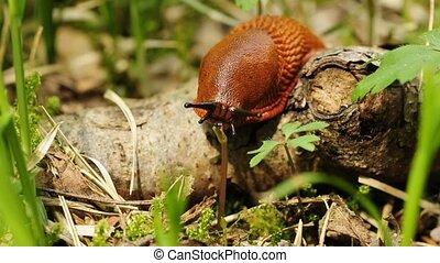 red garden snail