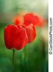 red garden tulips