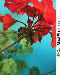 Red geranium flowers on a blue background