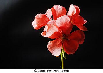 red geranium flowers on a dark