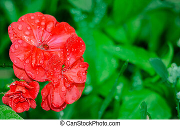 Red geranium flowers on a natural background