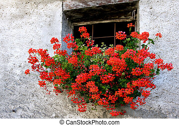 Red Geranium in a wall basket below window of house in Cogne Italy
